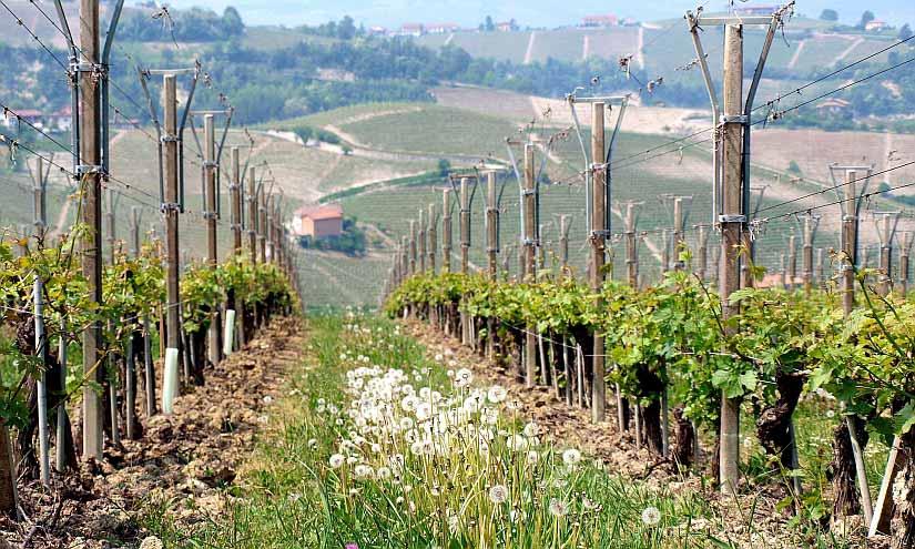 Weinreben Toskana
