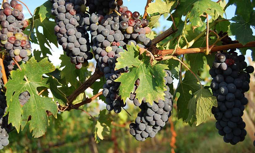Weintrauben Toskana