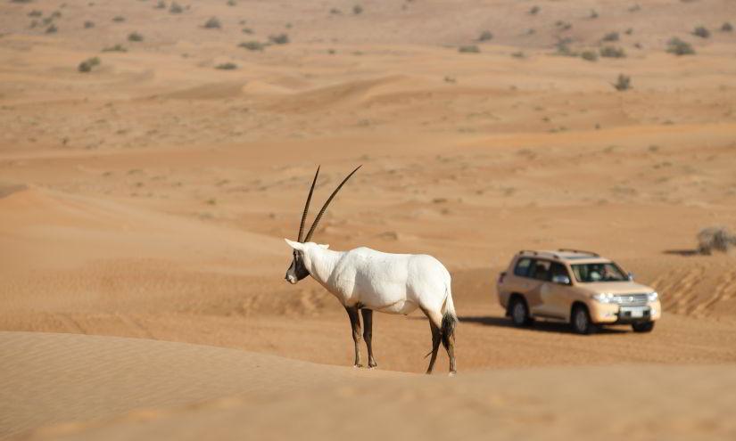 Al Maha Arabian Oryx