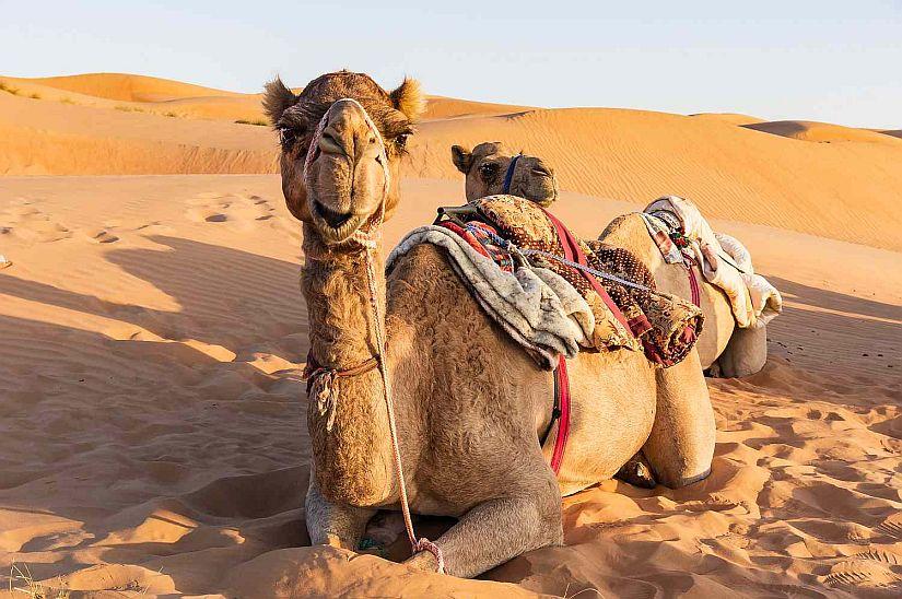 Camel desert Dubai
